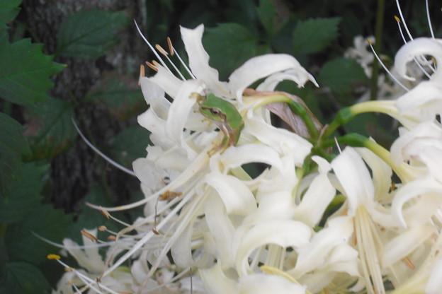 白ヒガンバナとカエル