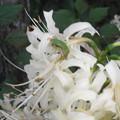 写真: 白ヒガンバナとカエル