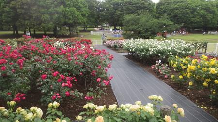 きぬた公園のバラ園