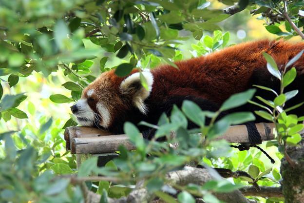 写真: 眠いよ~!  レッサーパンダ