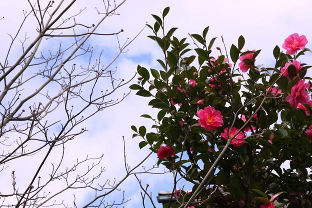 山茶花とハナミズキの蕾