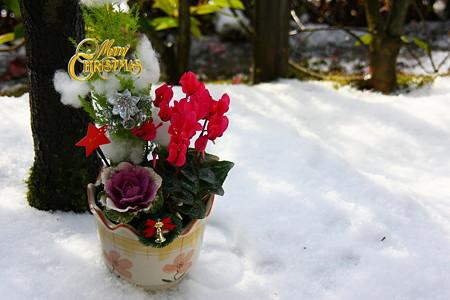 クリスマスの寄せ植えと今朝の雪(2) ホワイト&レッド