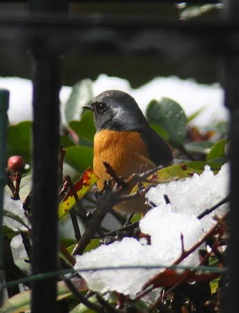 お庭に鳥さんが!(^_-)-☆   ジョウビタキ♂?