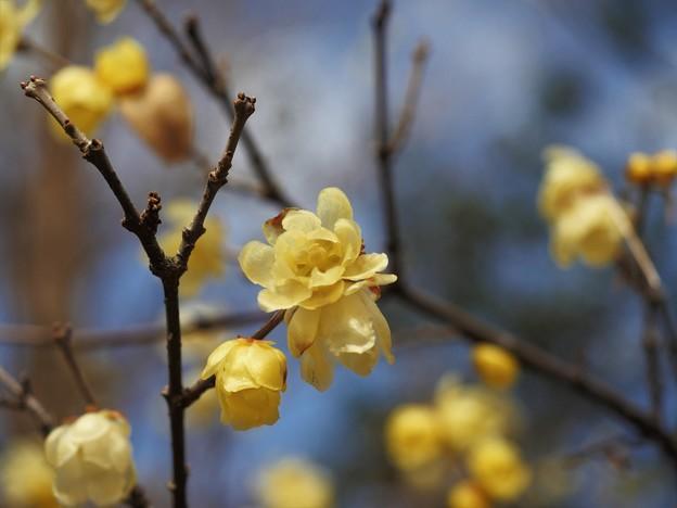 加須はなさき公園の蝋梅