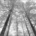 雪のメタセコイヤ林