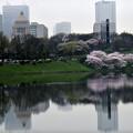 写真: 都心の桜