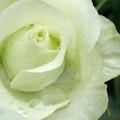 写真: 緑のバラ