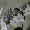 写真: 紫陽花 (2)