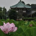 Photos: 不忍池に咲く