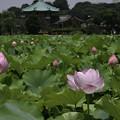 写真: 不忍池に咲く (2)