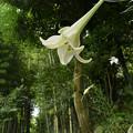 竹林に咲く