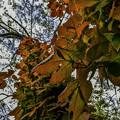 写真: 蔦紅葉