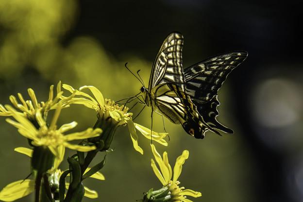 写真: ツワブキに蝶