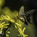 ツワブキに蝶