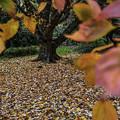 写真: 花の木(別名花楓)