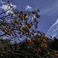 写真: 残り柿 (2)