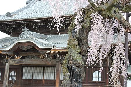 飯田の寺の桜6