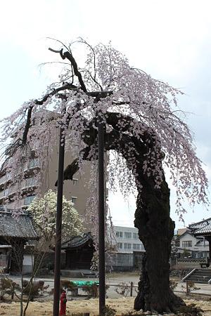 飯田の寺の桜7