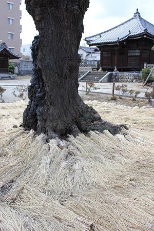 飯田の寺の桜8