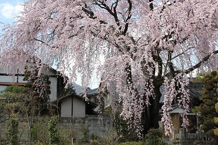 飯田の寺の桜14