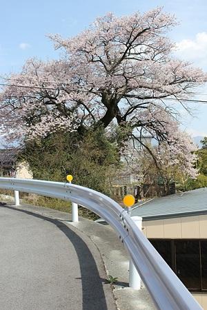 飯田の寺の桜15