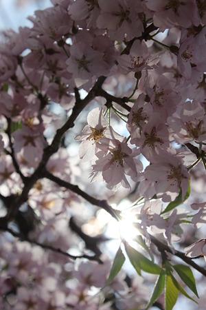 飯田の寺の桜16