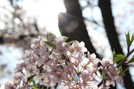飯田の寺の桜17