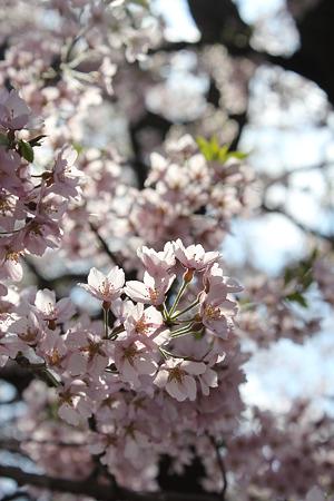 飯田の寺の桜18