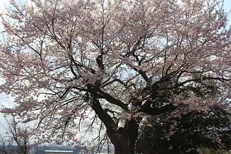 飯田の寺の桜19
