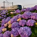 夕方の紫陽花3