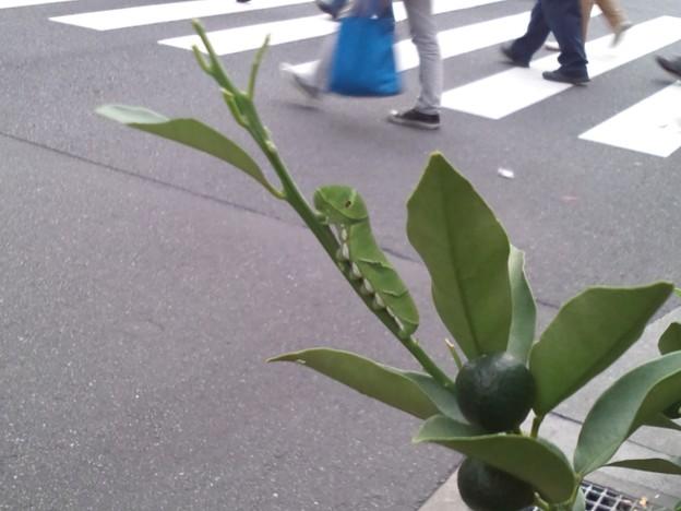 虫注意!大通り沿いに金柑&アゲハの幼虫を発見する。ちゃんと蝶になるといいね。