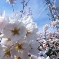 Photos: 実家の桜