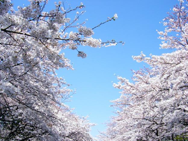 Photos: 上野公園の桜