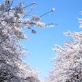 写真: 上野公園の桜