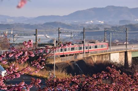 河津桜と京急
