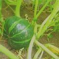 写真: もう少しで収穫
