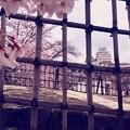 Photos: 姫路城の春