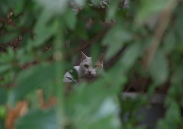 お屋敷の三毛猫