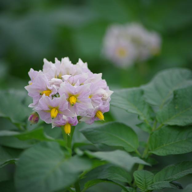 Photos: じゃがいもの花