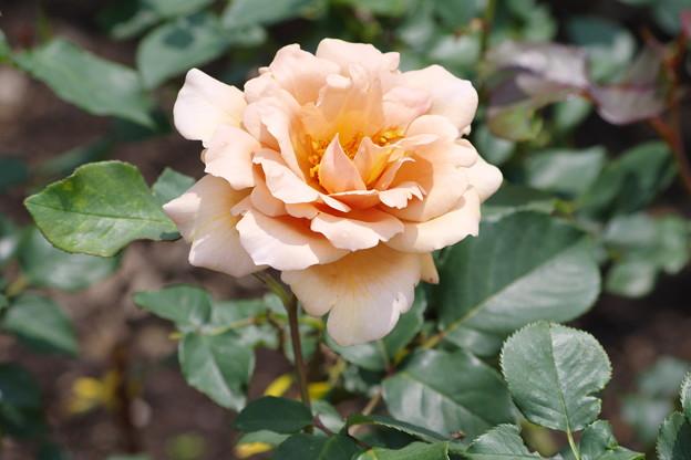 ゴージャスな薔薇