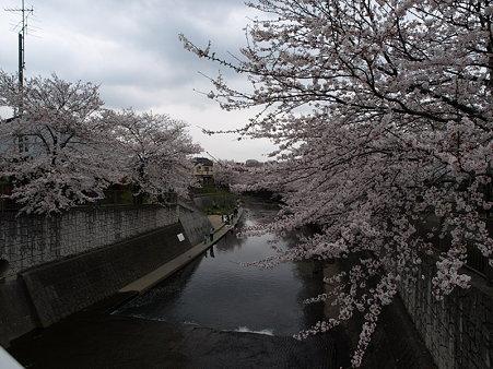 桜(恩田川)(50)