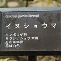 犬升麻(イヌショウマ)