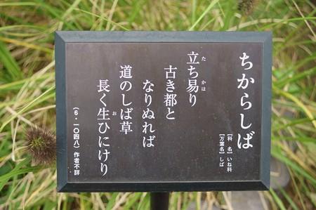 力芝(チカラシバ)