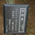 写真: 檜(ヒノキ)