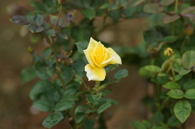 薔薇 インカ
