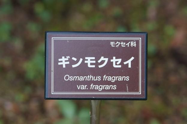 銀木犀(ギンモクセイ)