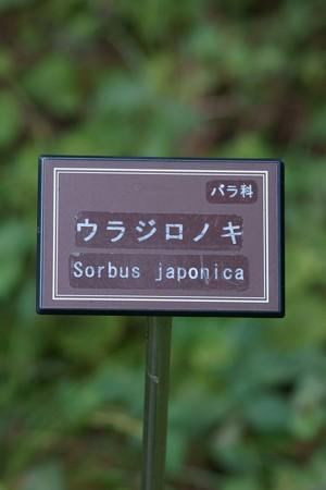 裏白の木(ウラジロノキ)