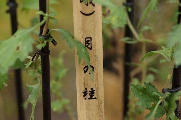 嵯峨菊 月の桂