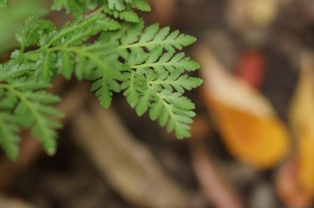 大花蕨(オオハナワラビ)