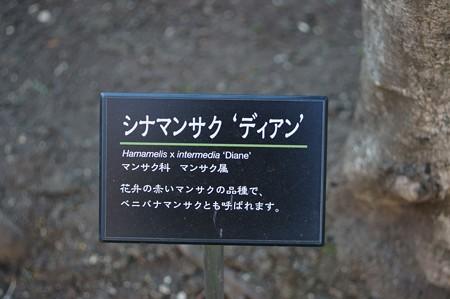 赤花満作・赤花万作(アカバナマンサク)